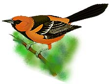 Orioles are neat, but I am not who you are looking for!