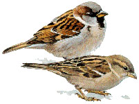 English or House Sparrow